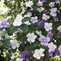 """The Yesterday, Today and Tomorrow shrub (Brunfelsia spp.) is named for fragrant, five-petal blooms that fade as they age, usually from purple to lavender to white. According to """"The New Sunset Western Garden Book,"""" purple stands for yesterday, lavender for today and white for tomorrow. Generally suited to U.S. Department of Agriculture..."""