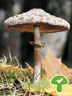 Parasol oder Riesenschirmpilz, essbar   Bild: picture-alliance/dpa