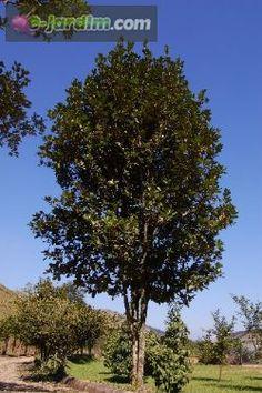 Eugenia brasiliensis / grumixama :: e-jardim  mudas à venda
