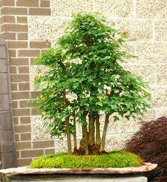 Bonsai Tree Trident Maple Specimen TMST 124B | eBay