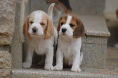 Photo Beagle Pups, Baby Beagle, Scottish Terrier, Dog Stuff, Dog Life, Labrador Retriever, Funny Memes, Puppies, Cats
