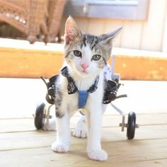 Just like Meet Rocky on Wheels - a cat who gets around on a wheelchair. Cat Wallpaper, Animal Wallpaper, Baby Animals, Cute Animals, Clumping Cat Litter, Beautiful Cats, Simply Beautiful, Beautiful Things, Cat Breeds