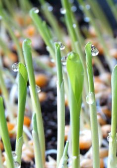 You'll never know how sweet corn sprouts are until you grow them!  Sprouts are 10-30 times more nutritious than full grown plants. See the blog for tips on how to easily and quickly grow sprouts right in your very own home.