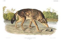 John James Audubon's Viviparous Quadrupeds of North America - RED TEXAN WOLF