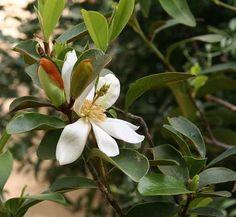 Magnolia laevifolia 1 flower