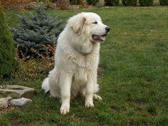 Klikněte k uzavření Mountain Dogs, Labrador Retriever, Animals, Pictures, Labrador Retrievers, Animales, Animaux, Animal, Animais