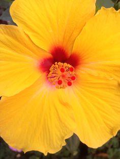 Hiniskusblüte