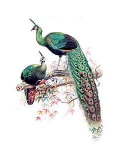 Two Peacocks - to use as decal on wood project