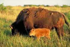 mommy Bison with her youngster!