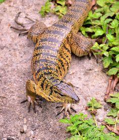 ˚Golden Tegu Lizard at Asa Wright Nature Centre - Northern Trinidad.
