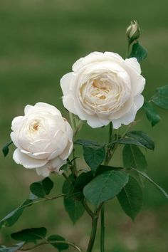 David Austin - 'Claire' - the most delicate rose with an amazing fragrance.
