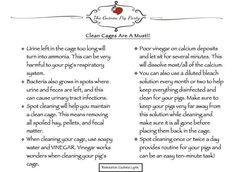 Guinea pigs - clean