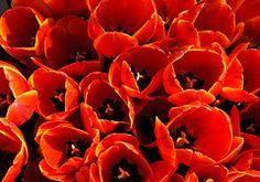 Tulips... ORANGE TULIPS!!!