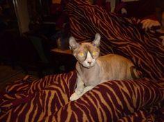 sphynx cat crossbreed