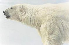 """Polar Bear Profile"" - Robert Bateman"