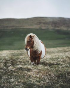 While traveling with Promote Shetland I may have already seen hundreds of Shetla… While traveling with Promote Shetland I may have already seen hundreds of Shetland ponies but this one is probably the smallest (I want to… - Art Of Equitation Poney Miniature, Miniature Ponies, Pretty Horses, Horse Love, Cute Baby Animals, Animals And Pets, Wild Animals, Tiny Horses, Cute Ponies