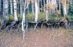 ROOTS// Aspens in South-Central Utah known as the Trembling Giant.  What is most interesting about the Trembling Giant colony, or what scientists refer to as Pando, is that this forest is actually one massive single Aspen tree connected by an underground rootsystem.  Approximately, 80,000 years old, Pando weighs some 6,600 tons making it the largest living organism on Earth. http://www.gxsblogs.com/keifers/2012/10/b2b-e-commerce-the-aspen-roots-of-the-global-economy.html