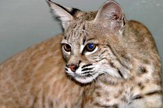 bobcats the animal | Animals | Bobcats