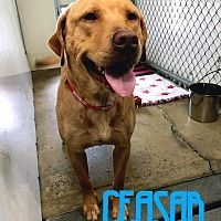 Lagrange Indiana Labrador Retriever Meet Caesar A For
