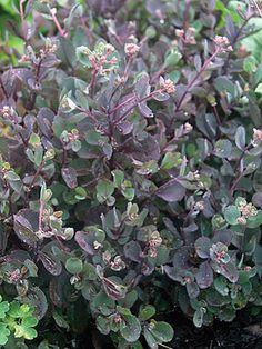 """Sedum Vera Jameson Stonecrop  10"""" h full sun zones 4-9 Pink.  Maroon tinged leaves."""