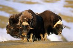 Musk-oxen Form A Defensive Circle