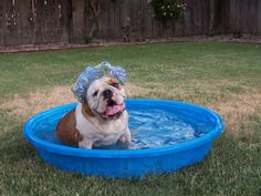 Orson the Bulldog likes to take baths • from ... APlaceToLoveDogs.com • dog dogs puppy puppies cute doggy doggies funny photography adorable funny fun silly