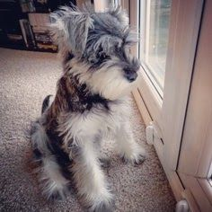10 Interesting Facts about Miniature Schnauzer. My baby Rascals looked like this a bit