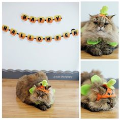 Facebook.com/AynahsPhotography  www.aynahsphotography.com    #Cat #Cute #Cuddly #Persian #Photography