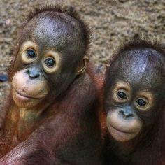 "Julie Duncan on Instagram: ""International Orangutan Day!  Do your part and help  International Animal Rescue Indonesia release four rehabilitated Orangutans back to…"" Baby Orangutan, Orangutans, Evil Minions, Guppy, Animal Cruelty, Extinct, Primates, Amphibians, Monkeys"