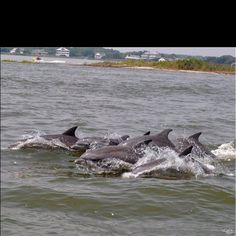 Dolphins in Ocean City, Maryland