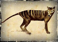 Tasmanian Tiger Thylacine Drawing By Cindy by deeppeacestudio, $5.00