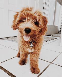 Mini golden doodle puppy Precious Pinterest Puppies