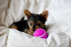 Battersea Dogs & Cats Home Baby Yorkshire Terrier Puppy