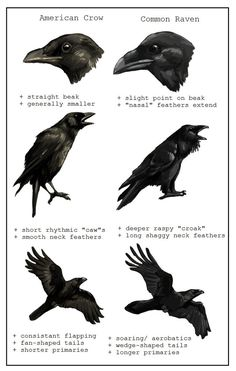 American Crow vs Common Raven Corneille d'Amérique vs grand corbeau Love Birds, Beautiful Birds, Beautiful Creatures, Quoth The Raven, Raven Art, Raven Totem, Crow Or Raven, Pet Raven, Creation Art