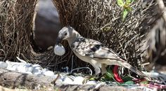 Brian McCauley - Great Bowerbird decorating its bower to attract a mate