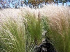 Mexican Feather Grass (Stipa tenuissima)