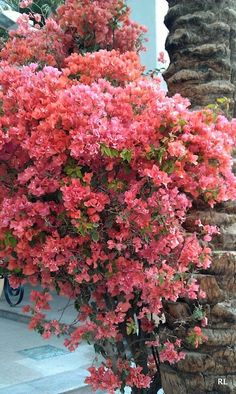 these flowers grow all over Israel in all different colors, Eilat