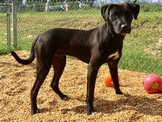 Labrador Retriever dog for Adoption in Augusta, GA. ADN-656537 on PuppyFinder.com Gender: Male. Age: Young