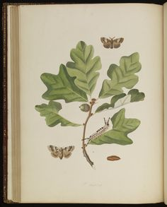 Plate 77 from The natural history of the rarer lepidopterous insects of Georgia. Including their systematic characters, the particulars of their several metamorphoses, and the plants on which they feed. Collected from the observation of Mr. John Abbot, many years resid · Smith, James Edward, 1759-1828 · 1797 · Albert and Shirley Small Special Collections Library, University of Virginia.