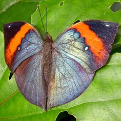 When the wings are open, that's what we see. (dead leaf butterfly | Indian Dead Leaf Butterfly)