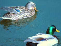The Mallard Duck! - Weekend Wildlife