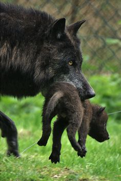 Mother wolf moving her baby to another location for safety purposes.