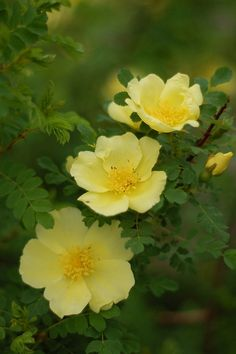 Unlabeled photo, but I think this is Shrub Rose: Rosa 'Canary Bird' (U.K., before 1945)