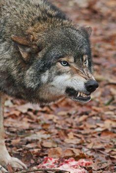 L〰Loup