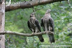 European Honey-buzzards (Pernis apivorus)
