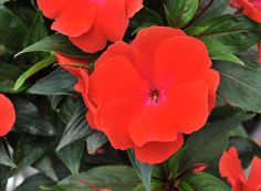 HGTV HOME Plants - Mighty Big™ Red