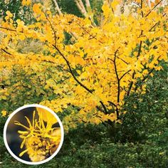 witch hazel (hamamelis virginiana). the oft neglected yellow, early spring bloomer. has a spicy smell, which offers something different than the much overplanted forsythia.