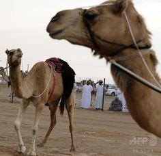 アラブ首長国連邦(UAE)アブダビ(Abu Dhabi)郊外のアルアイン(Al-Ain)で行われたラクダの祭典で、レース場につながれたラクダ(2014年2月2日撮影、資料写真FILE)。(c)AFP/KARIM SAHIB ▼25Aug2014AFP|生後4か月男児、ラクダに頭かまれ負傷 フランス http://www.afpbb.com/articles/-/3024053 #Camel #Camelus #Altweltkamele #Unta #Kamelen #Camelo #Deve #جمل