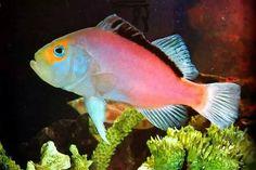 Pez Lilac Snapper Pertenece a la clase de peces de Actinopterígios (peces con aletas radiadas), alcanza tamaños bastante considerables y como cualquier congénere cazador, es un pez extremadamente voraz. Su coloración violeta pálido actúa, al igual que en el pez cirujano en forma de camuflaje, esta coloración es determinante para ellos, cuando salen de su hogar de arrecife para alimentarse.