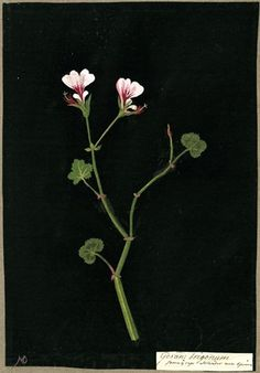Geranium Trigonum, from an album (Vol.IV, 82). 1778 Collage of coloured papers, with bodycolour and watercolour, on black ink background